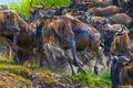 Africa-Wet Wildebeest