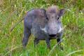 Africa-White Whiskered Warthog