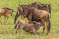 Africa-Wildebeest Nursing Calf