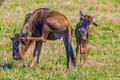 Africa-Wildebeest Scratching
