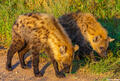 Africa-Young Hyenas