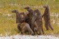 African Mongoose print
