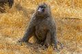 Baboon at Lake Nakuru print