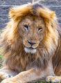 Blonde Lion print