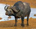Cape Buffalo at Aberdare print