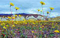 Death Valley Bloom of 2005 print