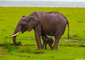 Elephant With Calf print