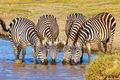 Four Zebras Drinking print