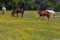 el dorado county, rural, georgetown road, sierry foothills, horse pasture