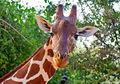 Giraffe Headshot Samburu print