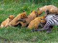 Lion Cubs Eating print