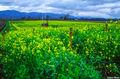 Napa Valley Wild Mustard print