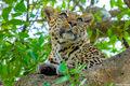 Serengeti-Leopard Face print