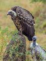 Serengeti-Patient Vultures print