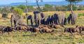 wildebeest crossing, serengeti, tanzania, africa