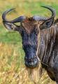 wildebeest, portrait, serengeti, tanzania, africa