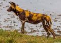 Serengeti Wild Dogs print
