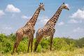 Two Giraffes Tarangire print