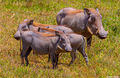 Warthog Family print