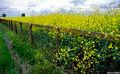 Wild Mustard Fence print