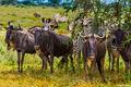 Wildebeest Under Tree print