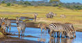 Zebras Drinking From River print