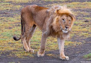 Bad Lion Hair Day