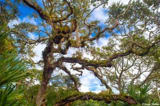 Canaveral Tree Branches