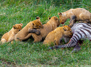 Lion Cubs Eating