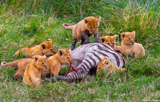 Lion Cubs First Meal