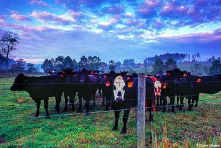 North Carolina Cows