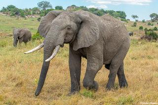Serengeti-Walking Elephant