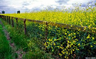 Wild Mustard Fence