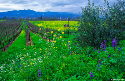 napa valley, northern california, silverado trail, scenic drive
