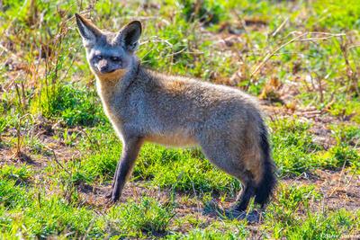 Africa-Bat Eared Fox