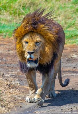 Africa-Big Lion Walking