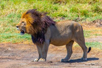 Africa-Big Male Lion