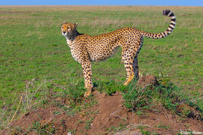 Africa-Cheetah on the Lookout
