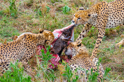 Africa-Cheetahs Feeding