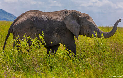 Africa-Elephant in the Grass