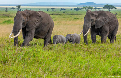 Africa-Elephant Mothers With Babies