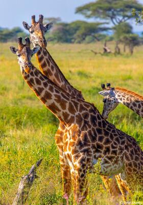 Africa-Giraffes