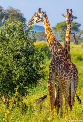 Africa-Giraffes Eating