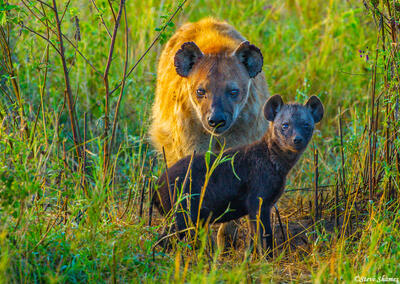 Africa-Hyena Mom and Pup