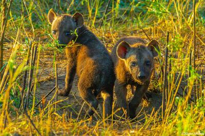 Africa-Hyena Pups
