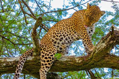 Africa-Leopard Grooming