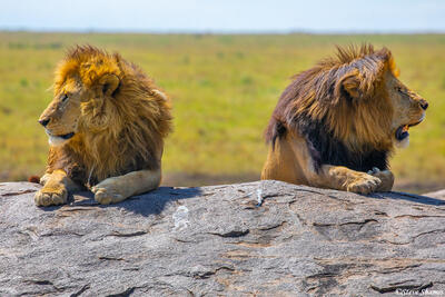 Africa-Lion Bookends