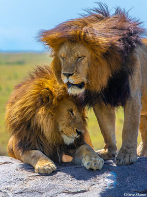 Africa-Lion Brothers