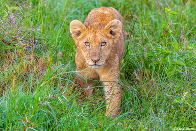 Africa-Lion Cub in Grass