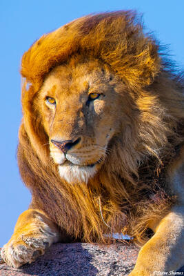 Africa-Lion in the Breeze